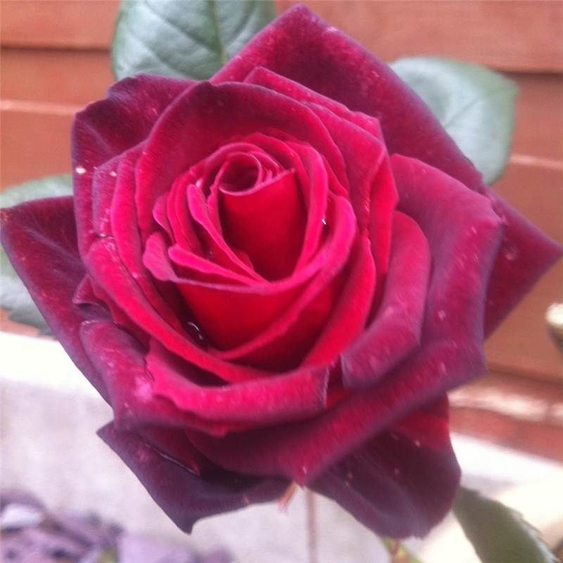 Black Baccara Hybrid Tea Rose   Bare Root Rose Plant Shrub Bush