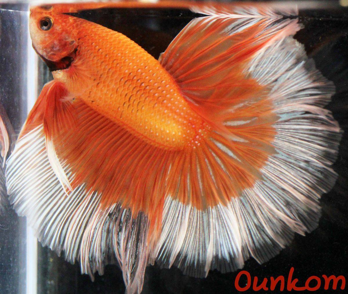 Orange White Butterfly Halfmoon Male Live Betta Fish Imported