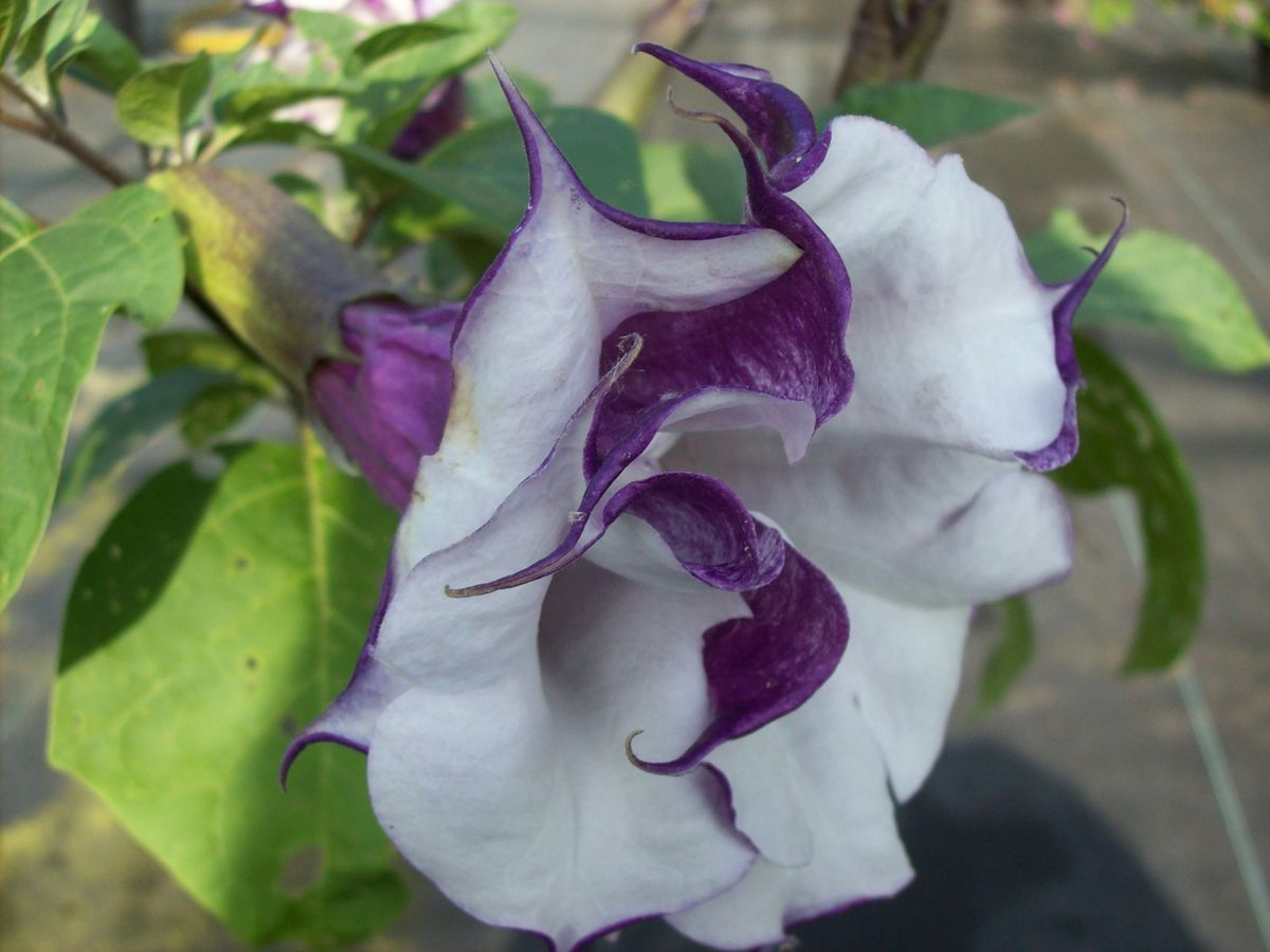 Double Purple Datura Angel Trumpet Live Plant s P